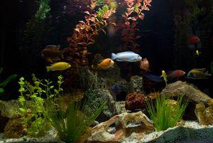 аквариумные рыбки цихлиды африканские фото с названиями #3