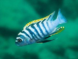 аквариумные рыбки цихлиды африканские фото с названиями