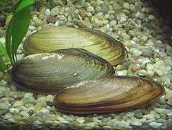 Моллюск перловица