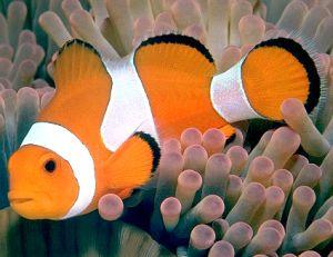 Описание рыбы клоун