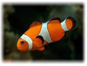 Содержание рыб клоун