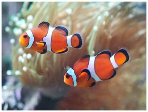 Размножение рыбок клоун